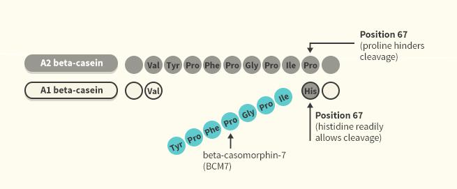 Beta Caseína A1 e A2.png