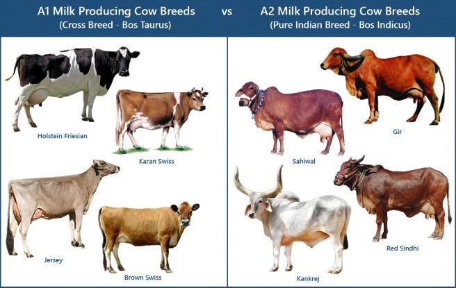 vacas-a1-e-vacas-a2