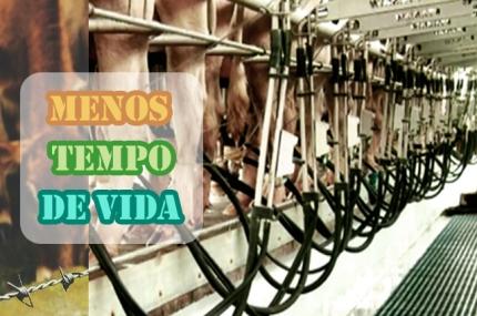 vacas vivem menos.jpg