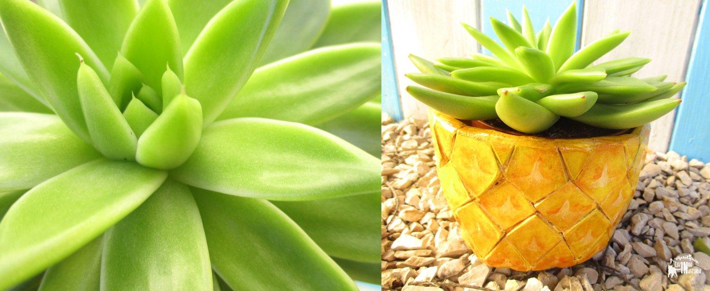 DIY Vaso de Abacaxi em madeira - Pineapple wooden Pot (cachepot) - Suculenta Succulent